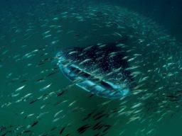 Vacanza per subacquei in Tanzania a Mafia Island