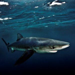 Immersioni con gli squali in Sudafrica