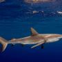 Bahamas – Tiger shark expedition
