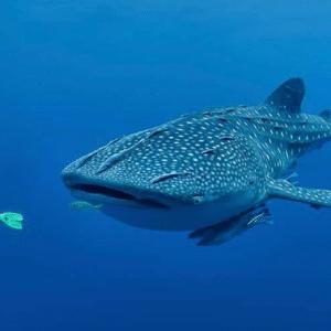 Crociera diving a Gibuti – speciale squali balena