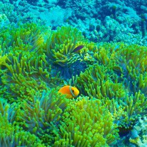 Anemone Maldive