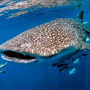 Squalo balena Nosy Be