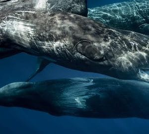Vacanze diving alle Azzorre – Whale Watching