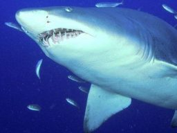 Diving in Sud Africa con Raggie Shark