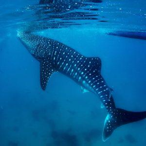 Squalo balena a Nosy Be