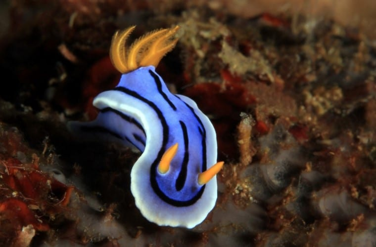 Chromodoris nudibranchi Filippine