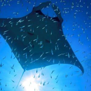 Immersione alle Maldive con le mante