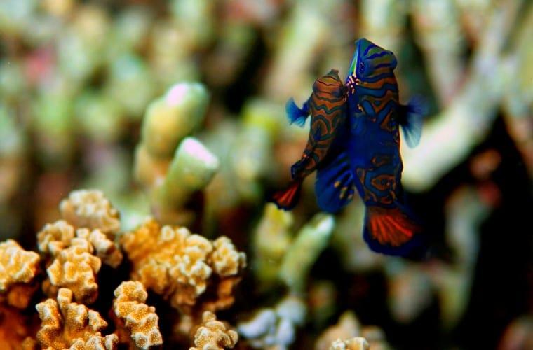 Pesci Mandarino Filippine