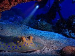 Stingray on the seabed