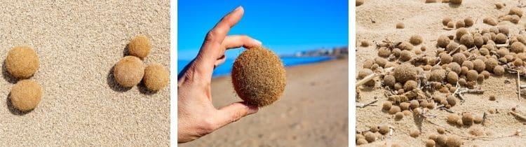 Egagropili Posidonia oceanica