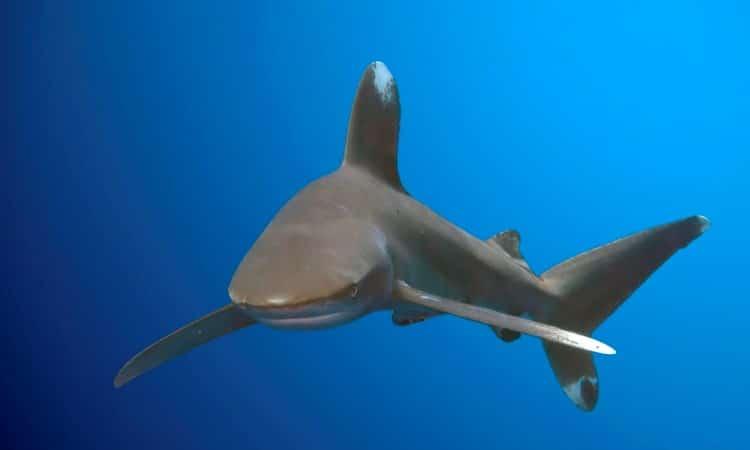 Squalo longimanus