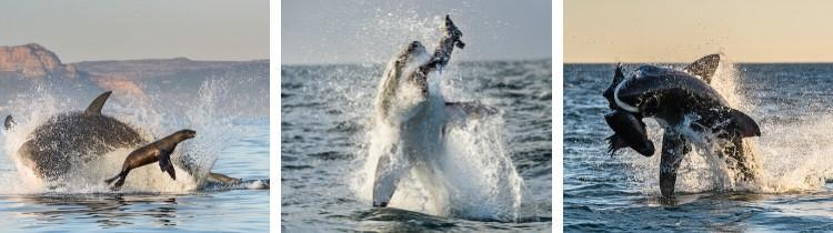 Attacco squalo bianco