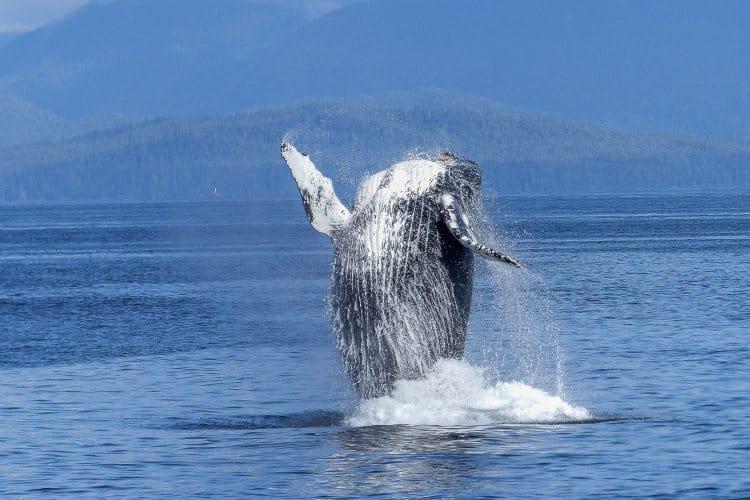 Collisioni fra navi e balene