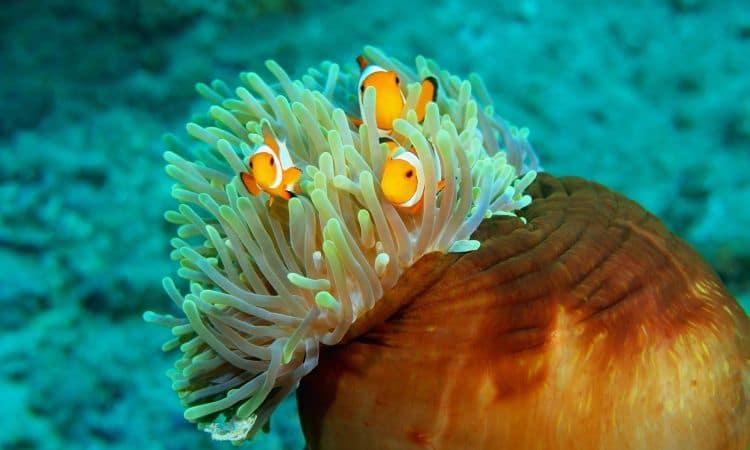 Anemoni di mare o attinie