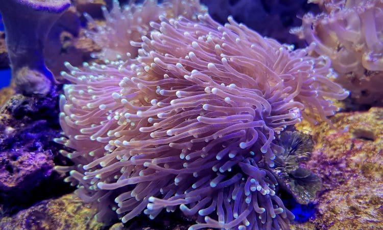 Attinie o anemoni di mare