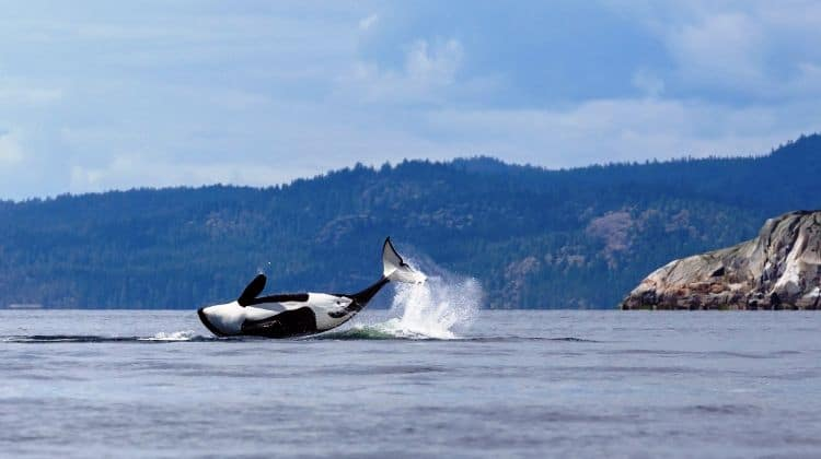 Orca, orcinus orca