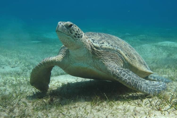 Marsa Mubarak turtle bay