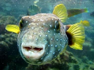 Denti del pesce palla