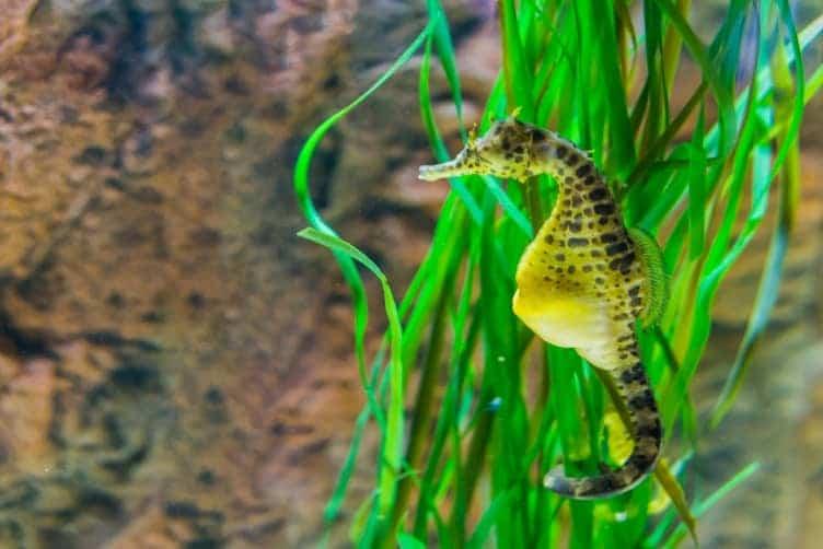 Cavalluccio marino riproduzione